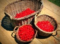 Récolte de griottes